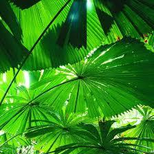 fan palm. fan palms. photo steven nowakowski. palm