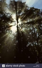Morning Light Amazon Amazon Basin Brazil Rainforest Trees With The Early