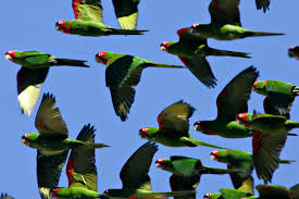 Image result for parakeets in the wild