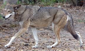 Wolf Vs Dog Size Chart Red Wolf Wikipedia