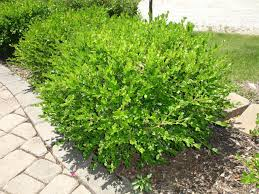garden bushes. Types Of Bushes For Your Garden \u2026