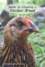 Different Types Of Chickens Chart Guide To Choosing Chicken Breeds Pick The Best Breeds For