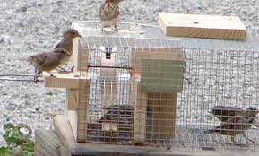 Deluxe Repeating Sparrow Trap DRST Falconry Bluebird Bird Martin    SELF RESETTING REPEATING HOUSE SPARROW TRAP
