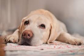 cancer in dogs 12 signs to look out