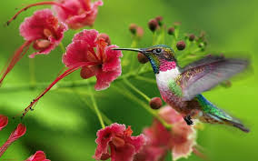 hummingbirds and flowers wallpaper. Hummingbird And Flowers Wallpaper Hummingbirds Exotic Animals Large On The Pinterest