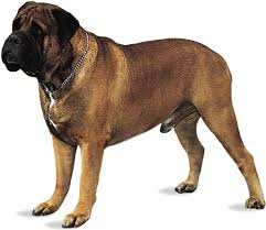 Image result for mastiffs