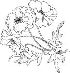 Раскраска маки цветы