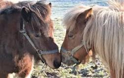 Image result for Shetland Ponies For SAle