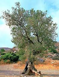 Vegans Living Off The Land List Of Uncommon Cold Hardy Fruit Wild Olive Tree Fruit