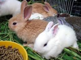 Rabbit Growth Rate Chart Newborn Baby Rabbits Growth Phases Everything Rabbit