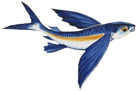 Image result for images of flying fish