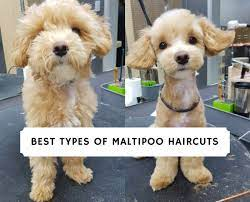 best types of maltipoo haircuts with