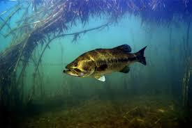 largemouth bass underwater. Perfect Largemouth Black Bass Largemouth  And Largemouth Bass Underwater S