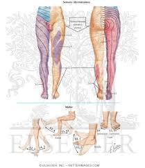 Segmental Sensory Innervation Dermatomes Of Lower Limb