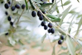 Wild Olive Tree Stock Photo  Getty ImagesWild Olive Tree Fruit