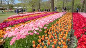 diffe colored tulips with each color by row stock footage storyblocks