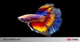 Jenis Ikan Cupang Ekor Jarum