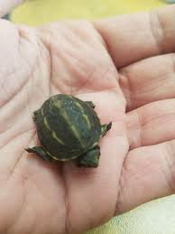 What is this tiny little turtle, I'm having a hard time determining what it  is. It was found in Central Florida. : herpetology