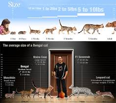 Bengal Cat Breed Faq Informations On Bengal Cats