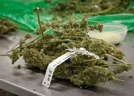 Výsledek obrázku pro léčebné konopí legalizace