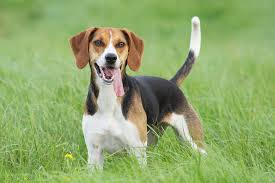 Beagle Hunting Dog Breed (Page 1 ...