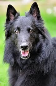 belgian groenendael sheepdog dog breed