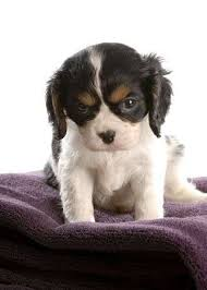 tricolor cavalier king charles spaniel puppies. Six Week Old Tri Color Cavalier King Charles Spaniel Puppy Stock Photo 6347389 In Tricolor Puppies