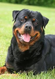 rottweiler dog mean. rottweiler dog breed mean n