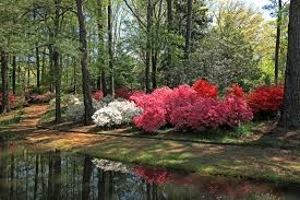 callaway gardens in georgia. Download Azaleas At Callaway Gardens Stock Image - Of Dogwood, Azalea: 39788197 In Georgia