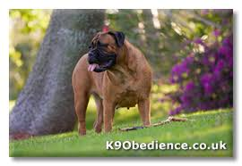 Bullmastiff Height And Weight Chart Bullmastiff Dog Breed Profile Size Weight Temperament