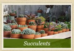 succulents and succulent care garden gallery succulent nursery