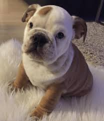 cute english bulldog puppy. Simple Puppy 12 Of The Absolute Cutest English Bulldog Puppies EVER Throughout Cute Puppy O