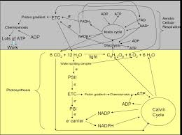photosynthesis and cellular respiration this diagram created using inspiration® by inspiration software inc