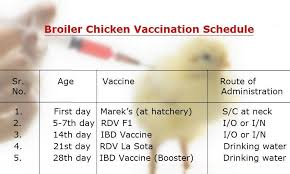 Chicken Medication Chart Vaccination Schedule For Broilers Pakissan Com