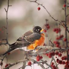 Robins Kitchen Garden City Robins Wintering In Minnesota Just Two Farm Kids