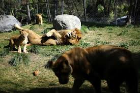 Hotels near (scl) arturo merino benitez airport; Lion Cubs Born In Chile After World First Veterinary Procedure