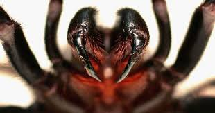 spider in black the world s most dangerous spiders warning graphic images pictures cbs news