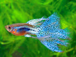 Image result for guppy fish