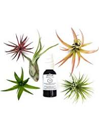 cheap office plants. 6 pcs tillandsia air plant lot kit includes 5 plants and 1 bottle of organic cheap office a