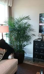 This is a Bamboo Palm plant in decorative container. The Chamaedorea palm  is not really