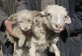 Znalezione obrazy dla zapytania śa jak owce porzucone