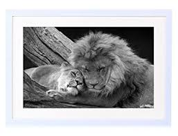 lioness black and white.  Lioness LION AND LIONESS RELAXING  Art Print White Wood Framed Wall Picture  16x12 Inches Black With Lioness And N