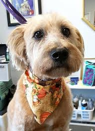 groomed dog with scarf grooming for dogs in lancaster pa