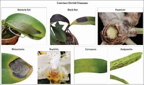 Recognizing And Eliminating Orchid Diseases Growing