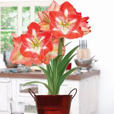 red amaryllis kit gift with artisan decorative planter 1 bulb