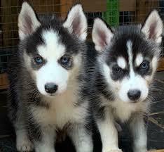 siberian husky puppy s