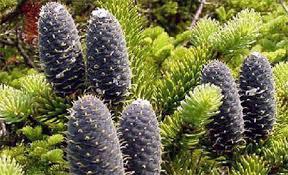 Голосеменные растения признаки отдел размножение покрытосеменные Голосеменные растения