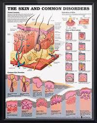 Skin And Common Disorders Chart 20x26 Skin Anatomy Skin