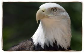 Small Picture Bald Eagle San Diego Zoo Kids