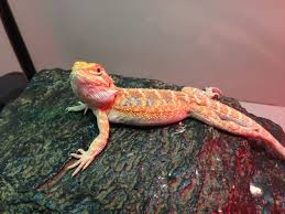 i need some help on the health of my baby bearded dragons